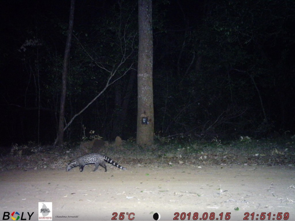 2 Small Indian Civet