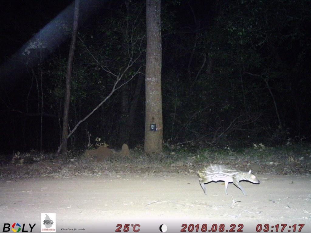 9 Mouse Deer