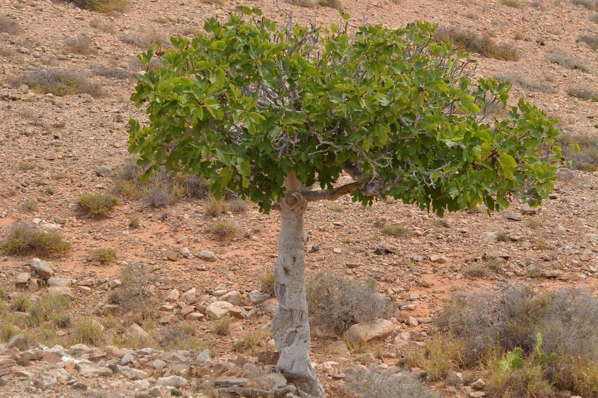 fig-tree-900320 1920