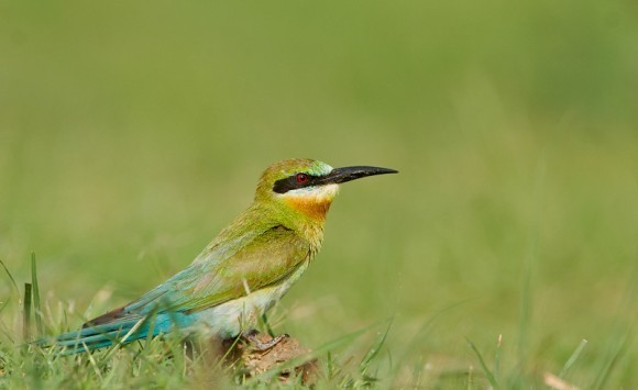 Blue-tailed-Bee-eater GL IMG 1276-580x386