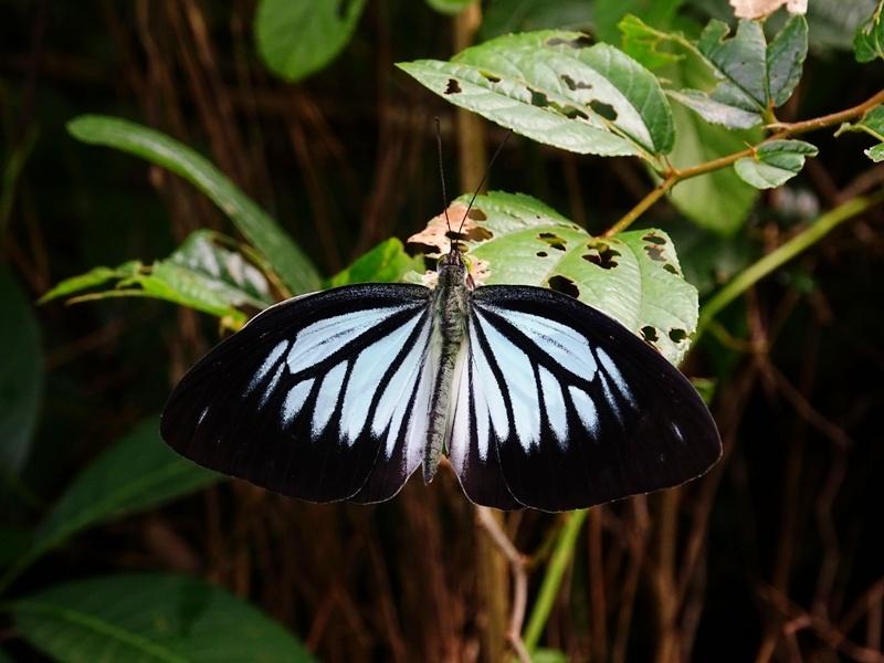 Dark wanderer Pareronia ceylanica