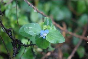 Benghal Dayflower Commelina benghalensis