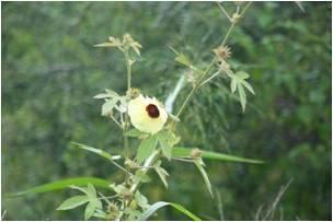 Wild Hibiscus Hibiscus furcatus