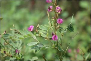 Wild Indigo Tephrosia purpurea