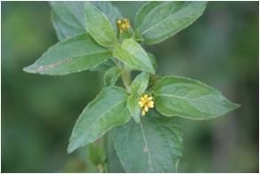 Nodeweed Synedrella nodiflora