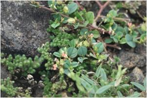 Coinwort Indigo Indigofera nummulariifolia