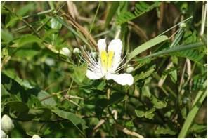 Ceylon Caper Capparis zeylanica
