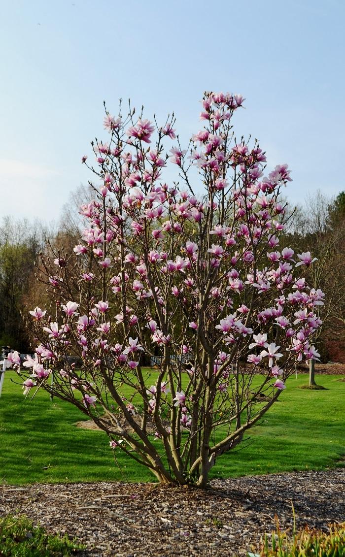 Magnolia Alexandrina dn reduced 2