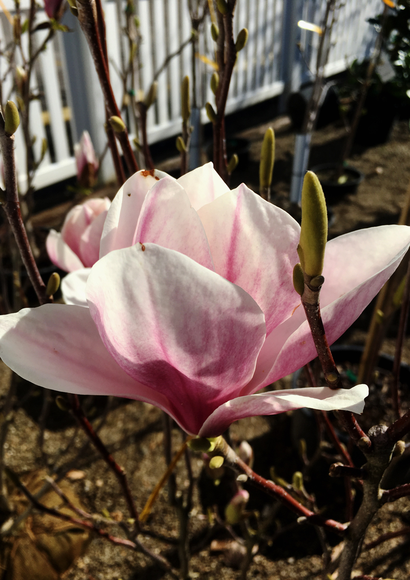 Magnolia Soulangiana Dn Reduced