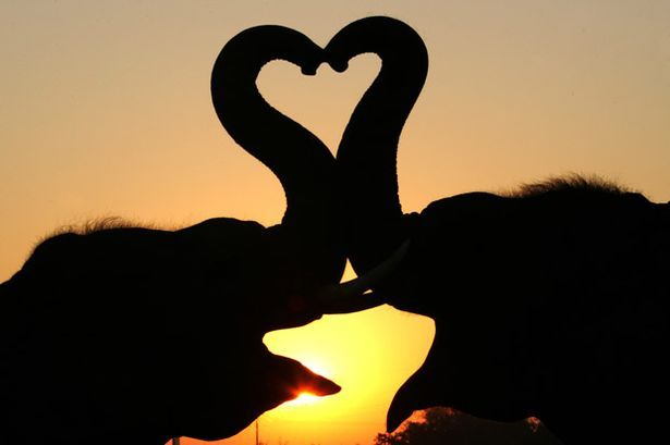 Two elephants create heart shape with their trunks while the sun sets in the background at an elephant camp in the former Thai kingdom of Ayutthaya