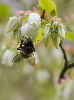 Bee on blueberry pixabay
