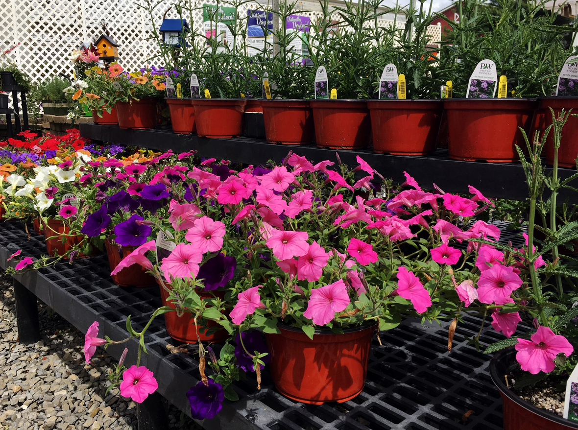 Petunias potted front