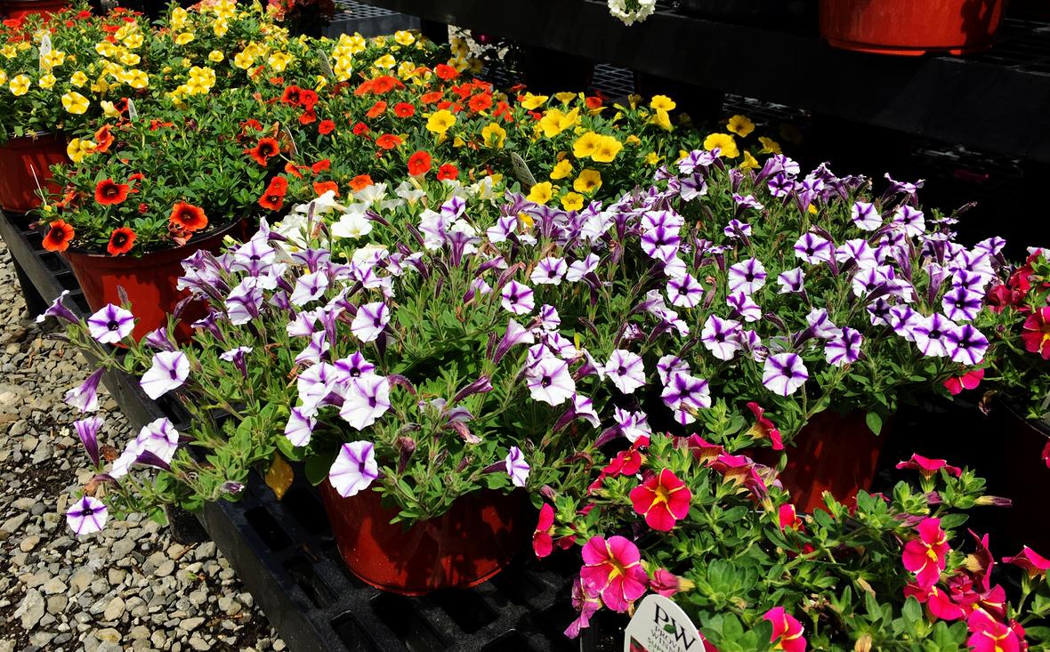 Petunias specialty front